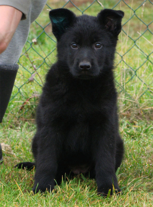 German Shepherd Puppies Tina Z Berounske Basty